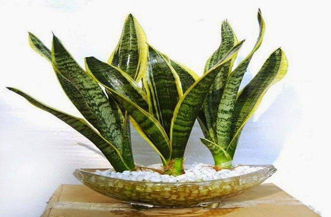 Những lỗi trồng cây phong thủy trong nhà khiến gia đình tiêu hao tài lộc - Ảnh 5.